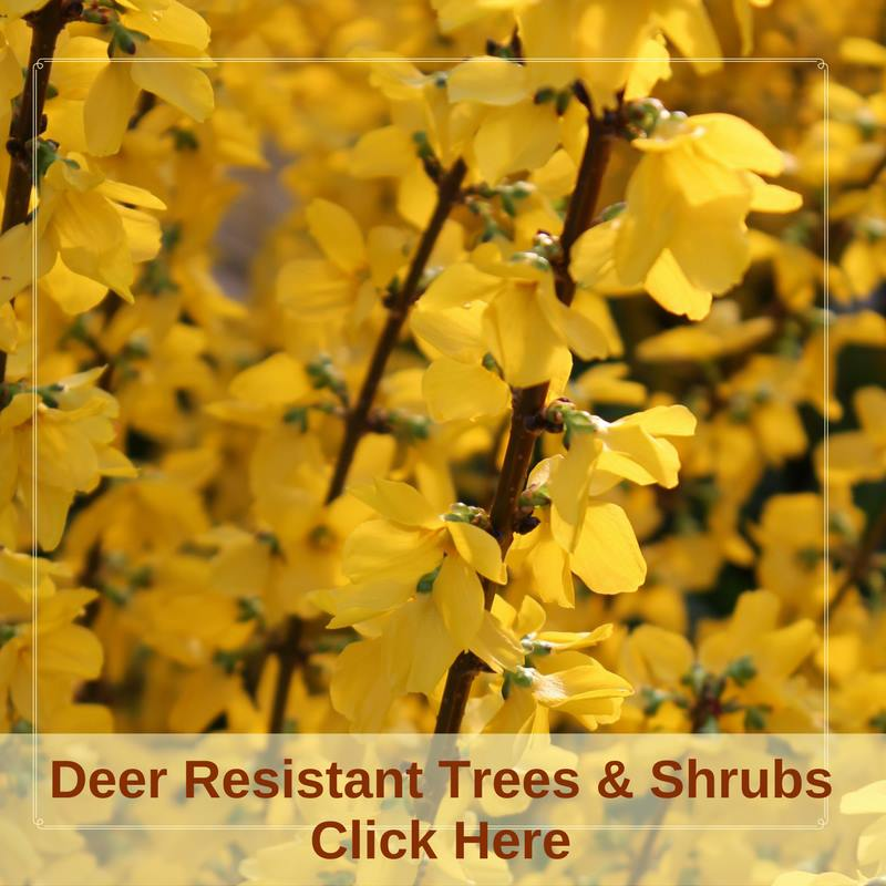Deer Resistant Trees and Shrubs