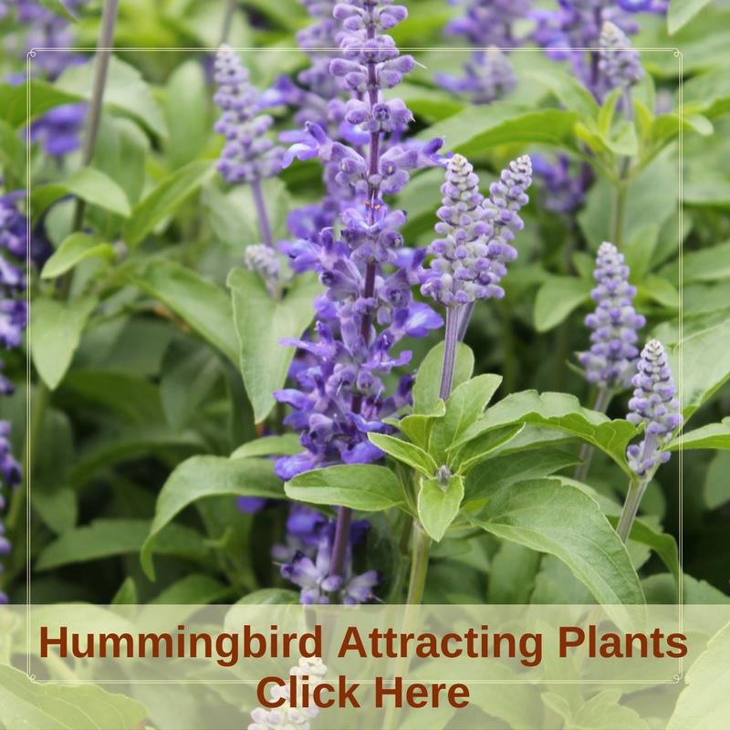 Hummingbird Attracting Plants
