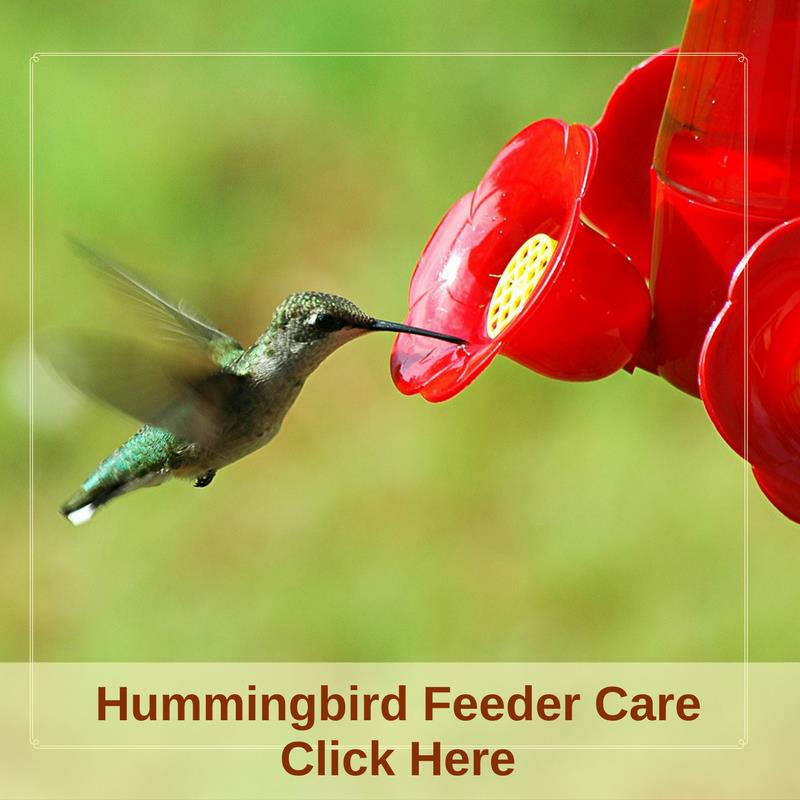 Hummingbird Feeder Care