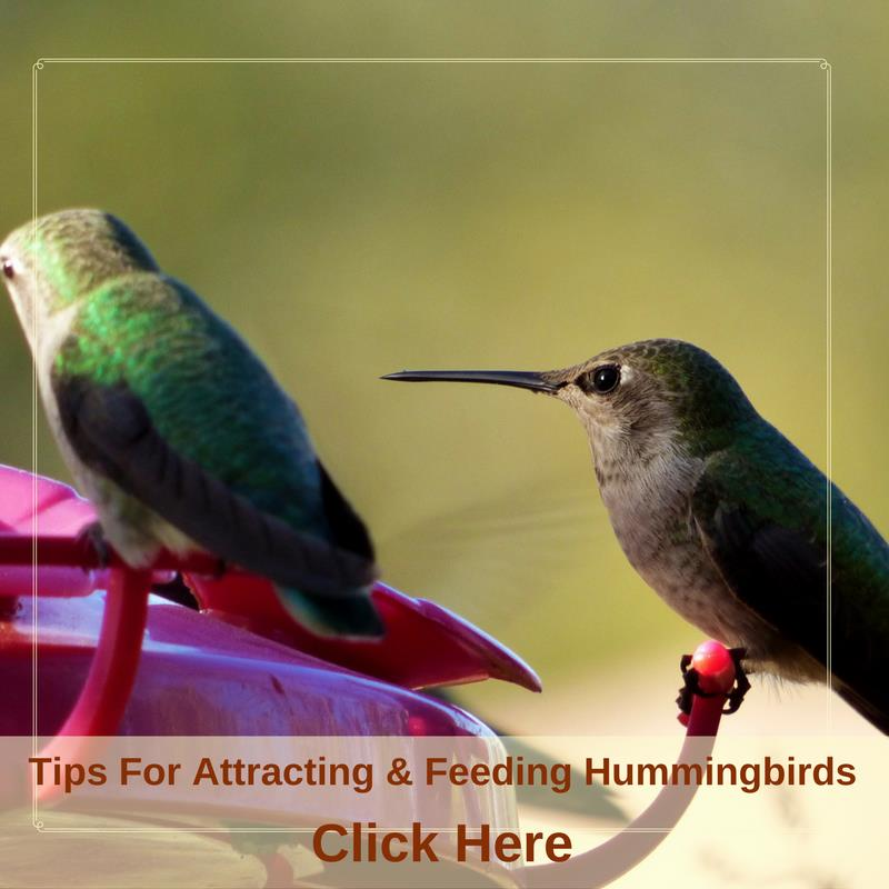 Tips For Attracting & Feeding Hummingbirds