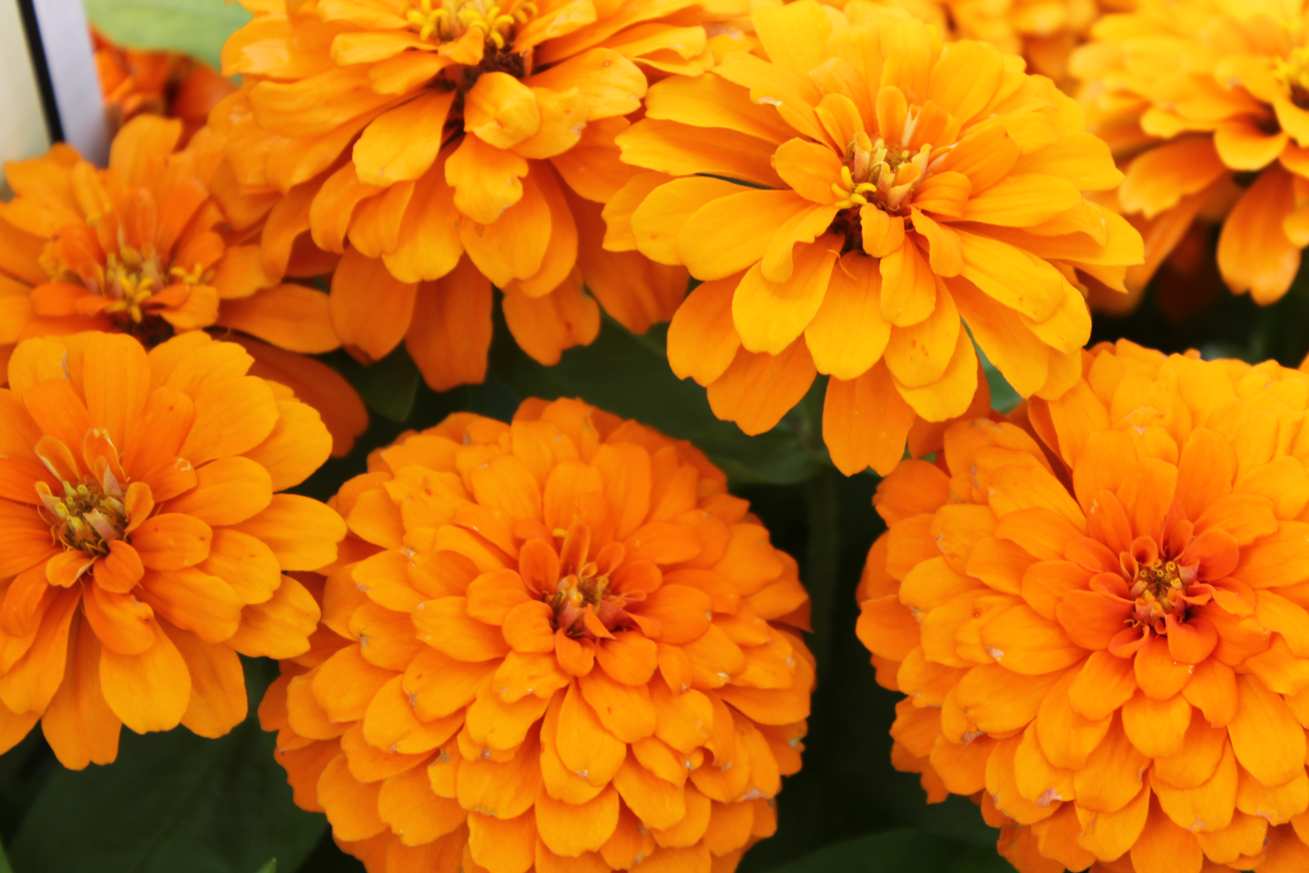 Zinnia Magellan Orange