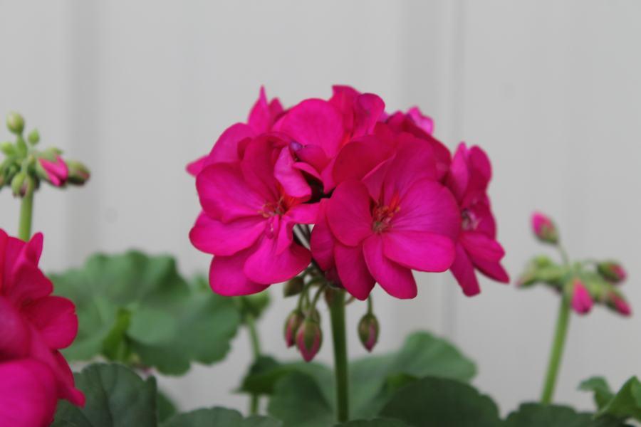 Geranium Americana Violet