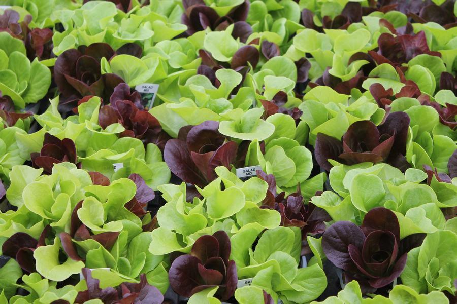 Lettuce Salanova