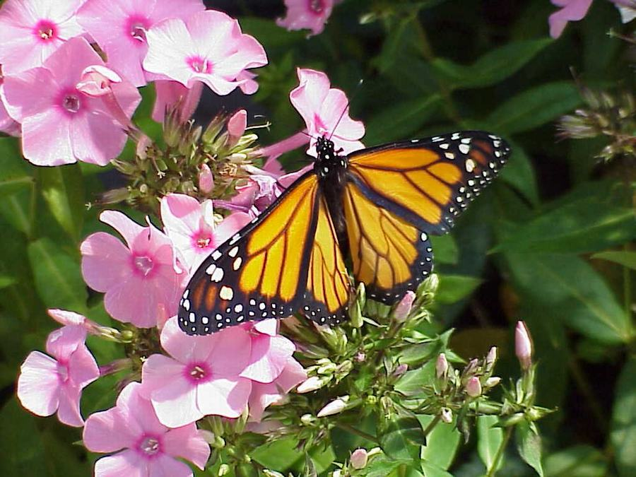6 Most Common Butterflies In Ohio Wilson S Garden Center