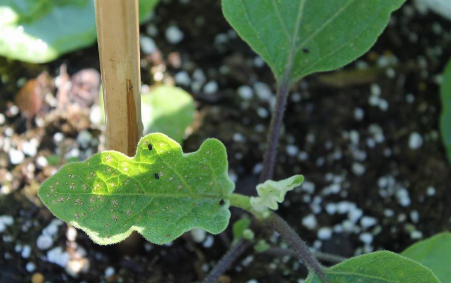 flea beetles in the garden wilson s garden center