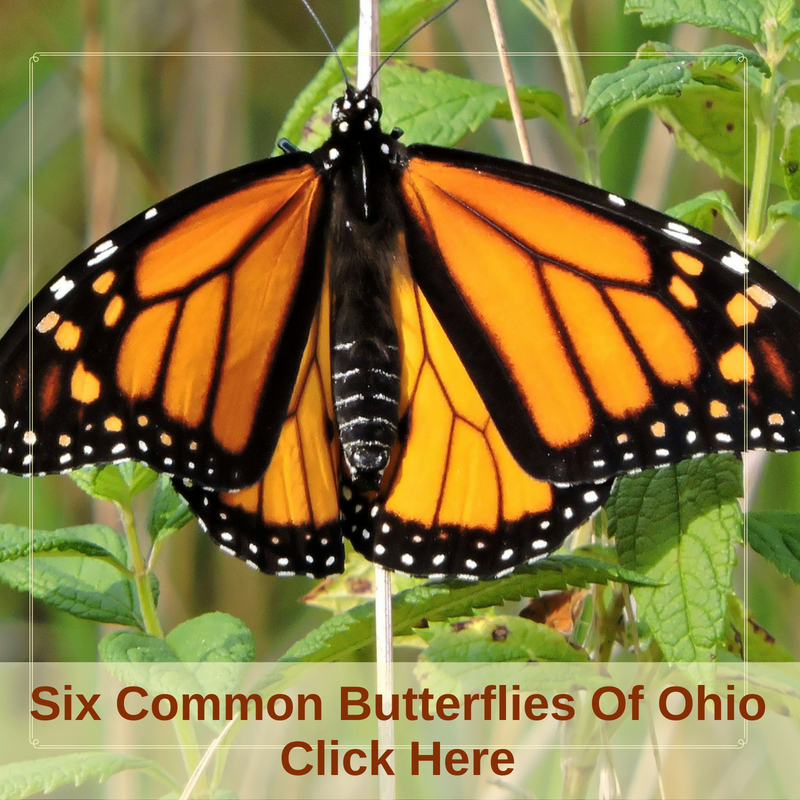 Six Commong Butterflies Of Ohio. Butterfly Garden Plans