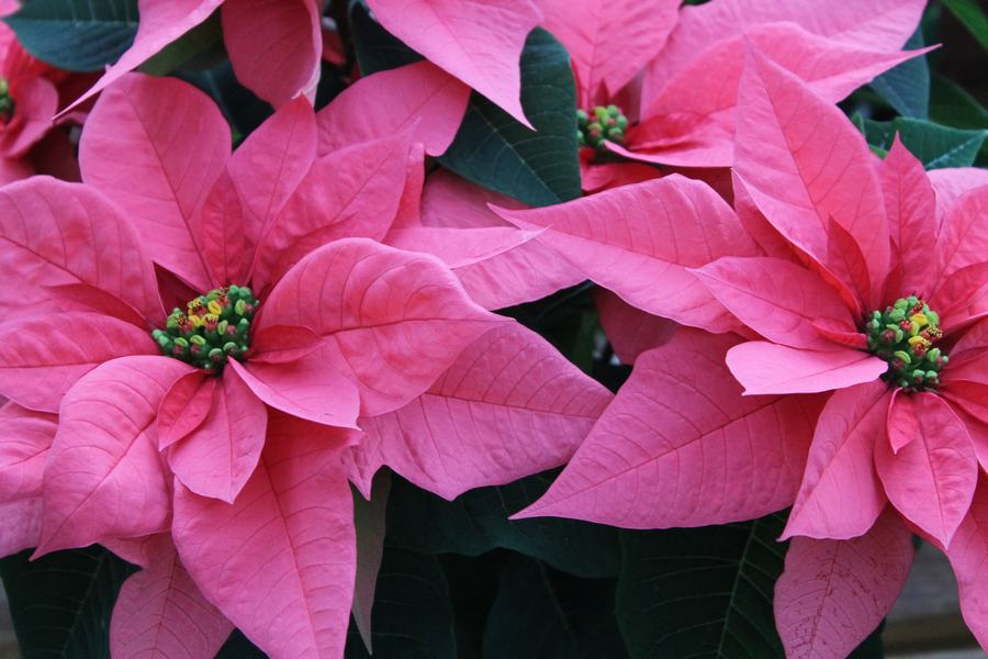 Majestic Pink Poinsettia