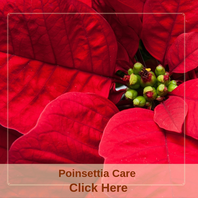 Poinsettia Care