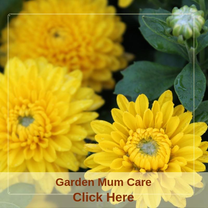 Garden Mum Care