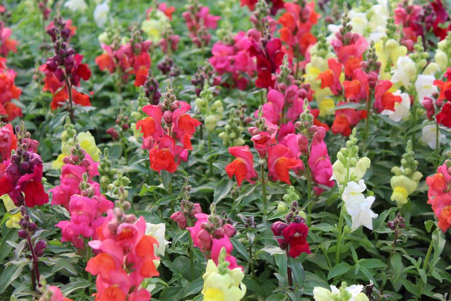 Snapdragon Candytops Mix