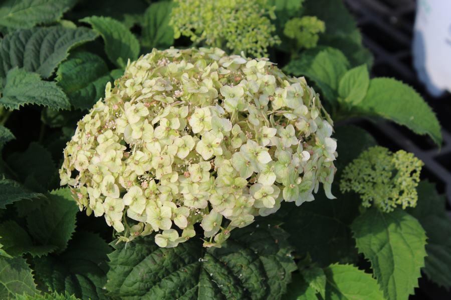 Hydrangea Wee White