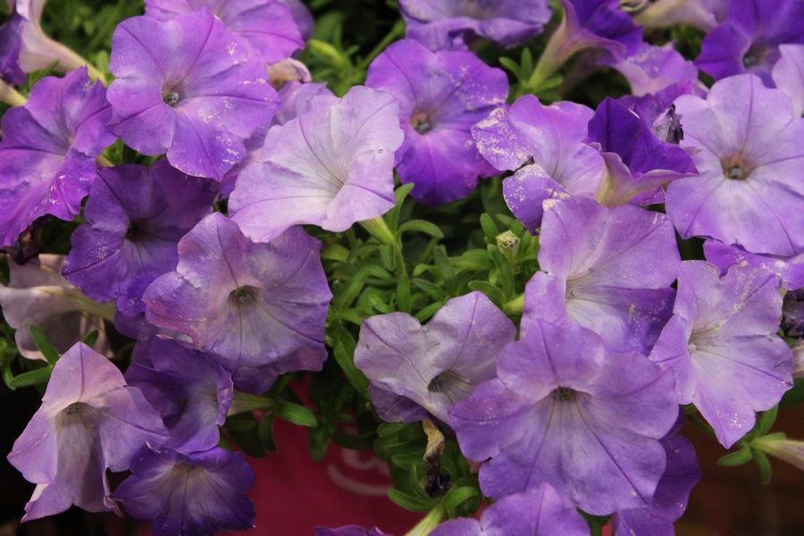 Petunia Easy Wave Lavender Sky